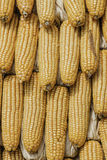 Closeup corn on the stalk in the corn field Stock Photography
