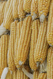 Closeup corn on the stalk in the corn field Royalty Free Stock Photos