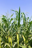 Closeup Corn on the stalk Stock Image