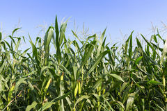 Closeup Corn on the stalk. In the field Stock Photos