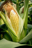 Closeup corn on the stalk Stock Photography