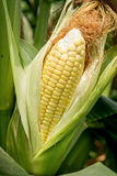 Closeup corn on the stalk Royalty Free Stock Images