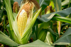Closeup corn on the stalk Royalty Free Stock Photos