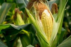 Closeup corn on the stalk Royalty Free Stock Image
