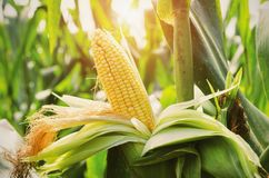 Closeup corn on stalk in field with sunset Royalty Free Stock Photography