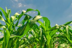 Closeup Corn tree and green leaves on blue sky and clouds background.  royalty free stock photography