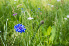 Closeup of a cornflower in its natural habitat Stock Photography