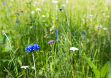Closeup of a cornflower in its natural habitat Stock Photos