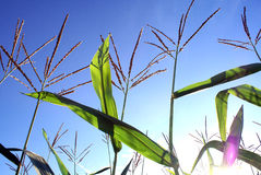 Closeup of cornstalks and seed partly silhouetted against sunris. E, sunset sky Royalty Free Stock Photography
