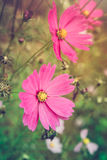 Closeup cosmos flowers blooming in the garden. Beautiful floral Stock Image