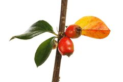 Closeup of cotoneaster leaves and berries. Isolated against white stock photos