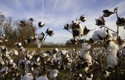 Cotton plants in bloom. Closeup of cotton plants blooming in countryside Stock Image