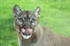 Closeup of Cougar in the grass Royalty Free Stock Images