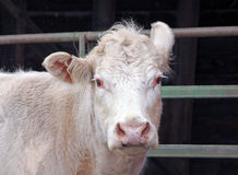 Closeup of a Country Cow. With One Upturned Ear royalty free stock photography