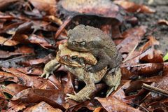 Mating toads over the leaves. A closeup of a couple of mating toads over the leaves Royalty Free Stock Photo
