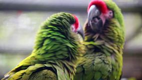 Closeup Of A Couple Of Military Macaw stock footage
