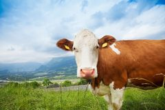 Closeup of a cow Stock Photos
