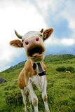Closeup of cow with bell. Closeup of a cow wearing a bell in the green pastures Royalty Free Stock Photo