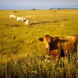 Closeup of Cow In Field Royalty Free Stock Photos