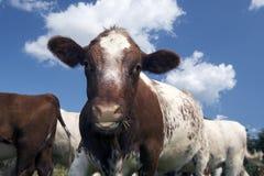 Closeup Cow Stock Photo