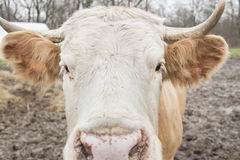 Closeup of a cow Stock Images