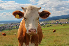 Closeup of cow in meadow Royalty Free Stock Photos