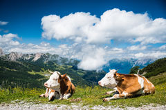 Closeup Cow in the mountain Stock Photo