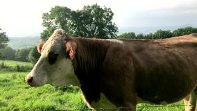 Cow on a pasture with barbed wire stock video