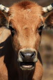 Closeup of cow's head with mouth open Royalty Free Stock Photo