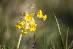 Closeup of cowslips Primula veris blossoms in springtime sunlight. Medicinal plants- closeup of yellow cowslips Primula veris blossoms in early spring sunlight royalty free stock photography
