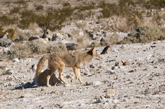 Closeup of coyote Stock Image