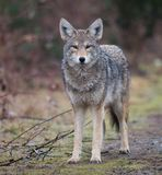 Closeup of a Coyote stock image