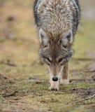 Closeup of a Coyote stock photo