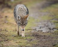 Closeup of a Coyote stock photo