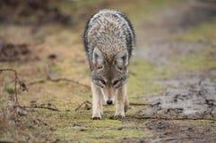 Closeup of a Coyote royalty free stock photos