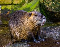 Closeup of a coypu that just came out of the water, wet hairy fur, tropical rodent from America. A closeup of a coypu that just came out of the water, wet hairy stock images