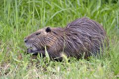 Coypu in grass stock photos