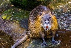 Closeup of coypu sitting at the water side, tropical water rodent from America. A closeup of coypu sitting at the water side, tropical water rodent from America stock photos