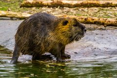 Closeup of a coypu standing at the water side, semi aquatic rodent from south America. A closeup of a coypu standing at the water side, semi aquatic rodent from stock images