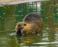 Closeup of a coypu walking through the water, a semi aquatic rodent from south America. A closeup of a coypu walking through the water, a semi aquatic rodent royalty free stock photography