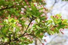 Closeup of crab apple tree in bloom. Macro closeup of crab apple tree branch with pink blossoms in spring royalty free stock image