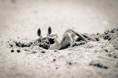 Closeup of Crab digging a hole in the sand Royalty Free Stock Photos