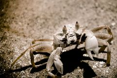 Closeup of Crab digging a hole in the sand Stock Image