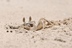 Closeup of Crab digging a hole in the sand Royalty Free Stock Photo