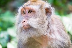 Monkey looking around. Wild nature of Bali, Indonesia Stock Photography