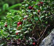 Closeup of cranberries Stock Image