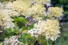 Hydrangea paniculata blossoms from close Royalty Free Stock Images