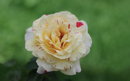 Closeup of  creamy yellow rose blossom with red stripes Stock Photo