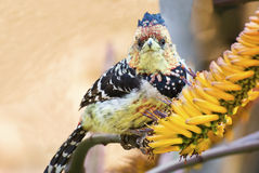 Closeup of a crested barbet Royalty Free Stock Image