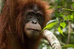 Closeup of critically endangered Sumatran orangutan Pongo abelii in Gunung Leuser National Park in northern Sumatra, Indonesia. stock photo